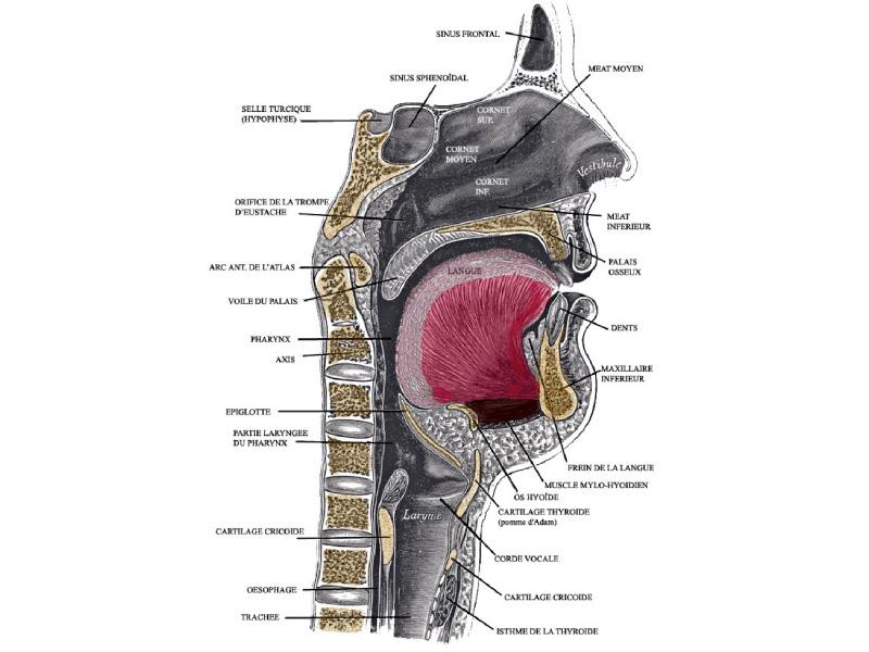 schéma de la gorge